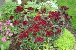 """Sweet William """"Sooty"""" 2"""