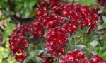 """Sweet William """"Sooty"""" 3"""