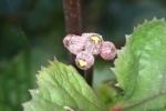 Blooming Ligularia 12-6