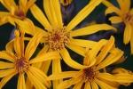 Blooming Ligularia 12-8