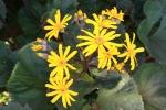 Blooming Ligularia 12-7