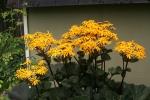 Blooming Ligularia 12-5
