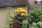 Blooming Ligularia 12-9