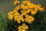 Blooming Ligularia 12-2