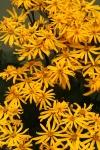 Blooming Ligularia 12-4