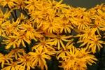 Blooming Ligularia 12-3