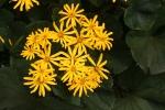 Blooming Ligularia 12-1