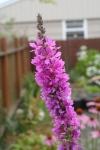 Beacon Hill Garden Summer 12-33