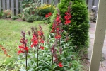 Perennial Lobelia 12-1
