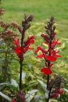 Perennial Lobelia 12-2