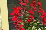 Perennial Lobelia 12-5