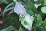 Blushing Bride Spiderwort