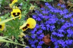 Annual Lobelia with Pansy 12-4
