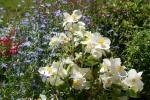 Annual Lobelia with Wax Begonia 12-5