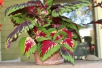 Coleus on my porch