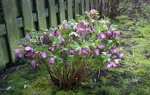 Helleborus in full bloom