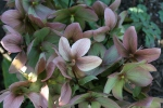 Helleborus come in different shapes, colors and sizes