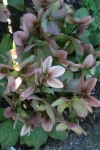 Helleborus bloom first and have great evergreen leaves.