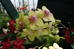 Orchid 13-11