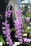 Orchid 13-15