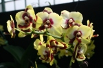 Orchid 13-1