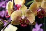 Orchid 13-2