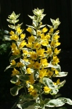 Variegated Yellow Loosestrife