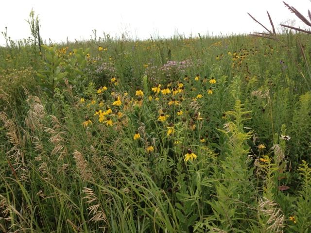 McFarland Park restored prairie