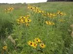 More Prairie Flowers