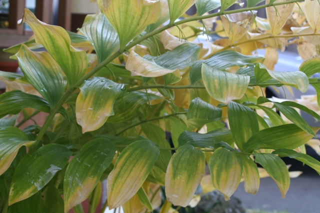 Solomon's Seal has a wonderful Fall fade, but heavy early September rains made them disappear faster than usual.