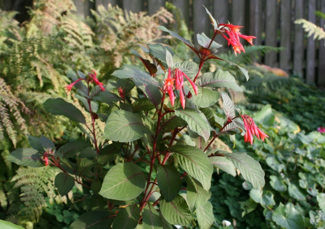 This was my 2012 Fuchsia fulgens that kept it's bloom until early January 2013. A little frost won't kill it.