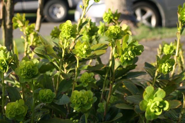 Wood Spurge Euphorbia
