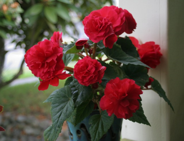 Traditional Begonia