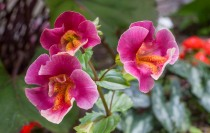 Annual Monkey Flower