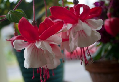 Porch Fuschia Blooms14