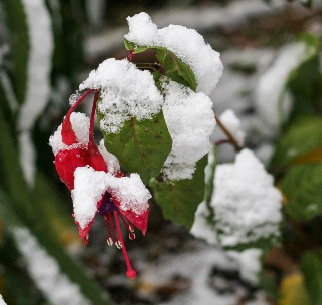 Snowy Perennial Fuchsia