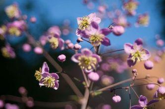 Lavender Mist Meadow Rue