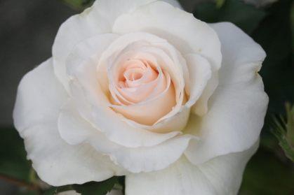 Finest Rose