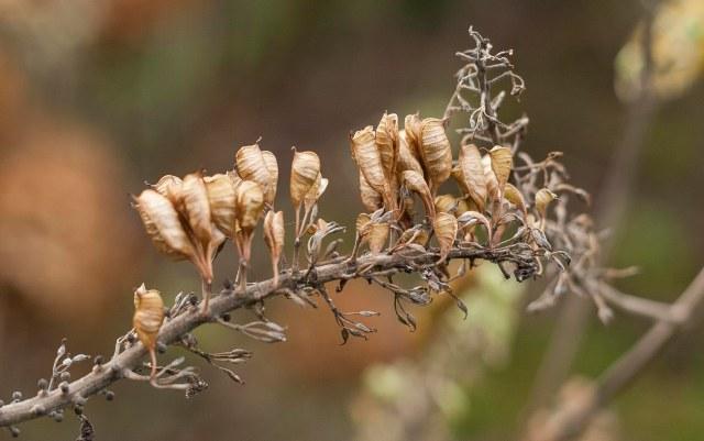 Dried Bugbane flower