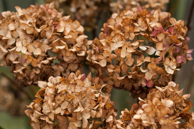 Dried Hydrangea Blooms