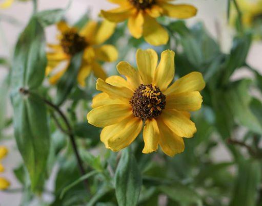 Profusion Yellow Zinnia