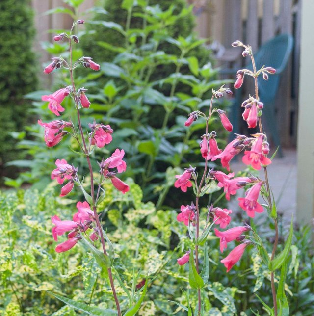 Pink Penstemon