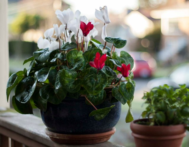 Blooming Cyclamen in January