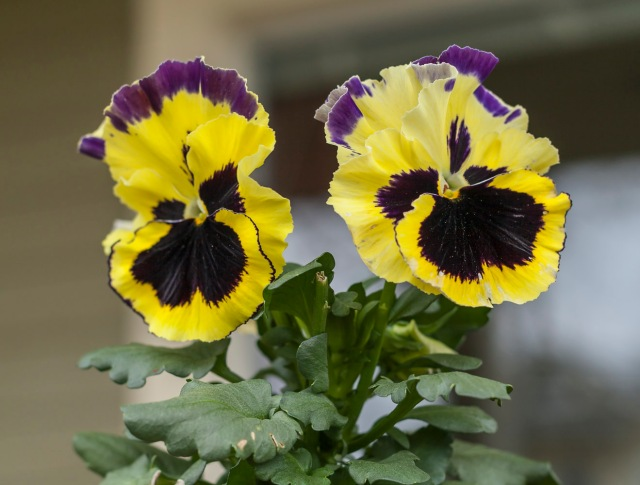 Pansies are a spring tradition on my porch.