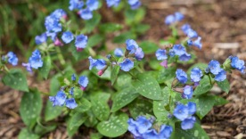 Pulmonaria saccharata throws out these cute spring bells. This perennial thrives in two tough spots in the front and back. Flowers are followed by unique spotted foliage for summer. Pulmonaria's minus is the plant will mold up and die in early fall after a dry summer